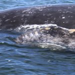 gray whale by our panga