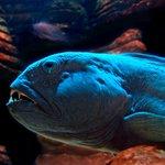 Entdecken Sie einen der faszinierenden Seewölfe im SEA LIFE Königswinter.