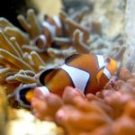 Entdecken Sie einen der typischen Bewohner der Seeanemonen im SEA LIFE Königswinter.
