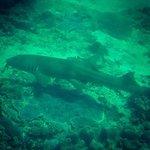 Bamboo shark in Manta Bay