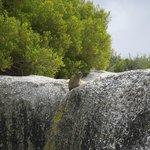 Dassie overlooking atop a boulder