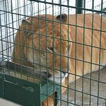 Liger= Female Tiger crossed with Male Lion