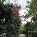 Very lush bougainvillea in a section of the garden