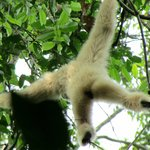 Gibbon swinging high in the canopy!