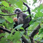 Shy spectacled Langur's can be found all over Tonsai! Beautiful creatures for the animal lovers!