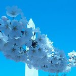 Blossoms and the newly refurbished Washington Monument!