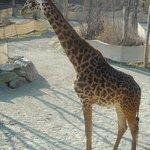 Mama giraffe at Cincinnat Zoo