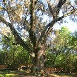 The Jackson Oak