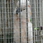 Baby, one of the cockatoos