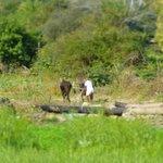 Ackerbau mit Ochsen