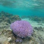 the purple coral in the beautiful lagoon of Aitutaki.