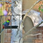 wild red-capped parrot feeding just outside the dining room