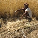 farmer harvesting wheat