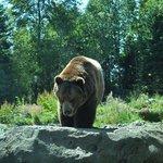 Woodland Park Zoo, l'orso