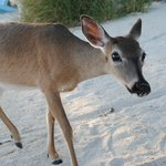 Key deer are protected, tame and about the size of a large dog