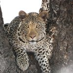 Giovane leopardo