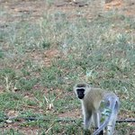 Baboon at Tsavo East