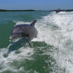 Dolphin playing in the wake.