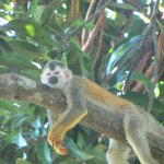 Squirrel monkey on hotel reserve