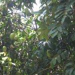 манго зреет
