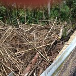 The discarded bamboo has just been dumped down the slope at the side of the road