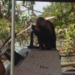 a white-faced monkey crushing some mango