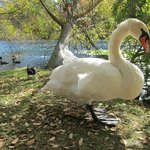Very Tame swan