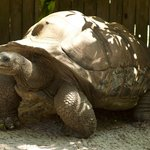 Roscoe - Aldabra Tortoise