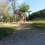 Giraffe a pochi metri