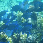 School of blue tang in a feeding frenzy