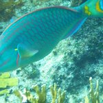 Parrot fish are always gorgeous as they munch coral