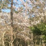 bluehene baeume im april