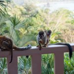 Monkeys on the balcony with ocean background