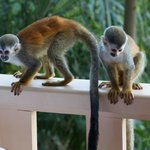 More monkeys on the balcony!