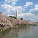 Washington Monument and cherry blssoms