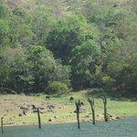 Herd of gaurs