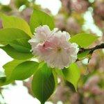 Cherry blossom...sakura