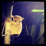 Night jungle walk- saw this little guy! A tarsier