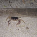 Crabs that come out in the evening