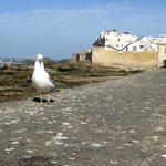 Seagull with Essaouira ramparts
