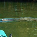 Manatee in front of my kayak