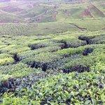 the tea field