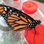 Papillon fashion !