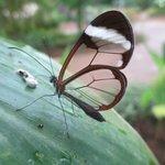 Papillon trasparent