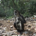Adult Male Spider Monkey