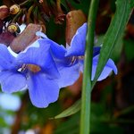 celestial blue flowers
