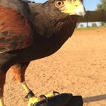 Falconry show up-close