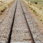 Trackside Llamas