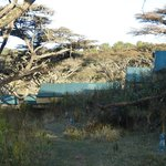 Tents in acacia forest