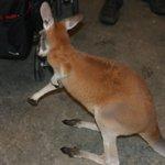 Bébé kangourou de 4 mois, presque aussi gros que celui de 11 mois